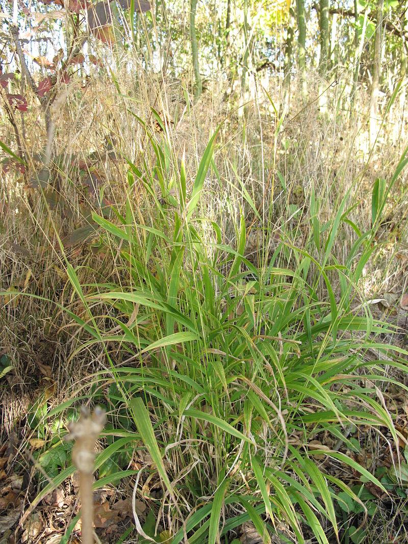 Wald-Zwenke (Brachypodium sylvaticum)