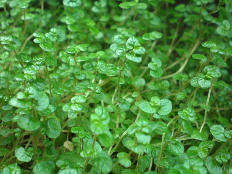 Bubikopf (Soleirolia soleirolii)