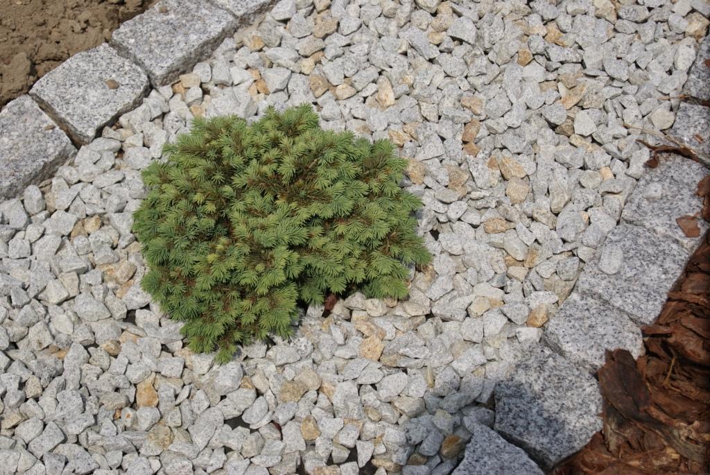 Stech-Fichte (Picea pungens) 'Kuba'