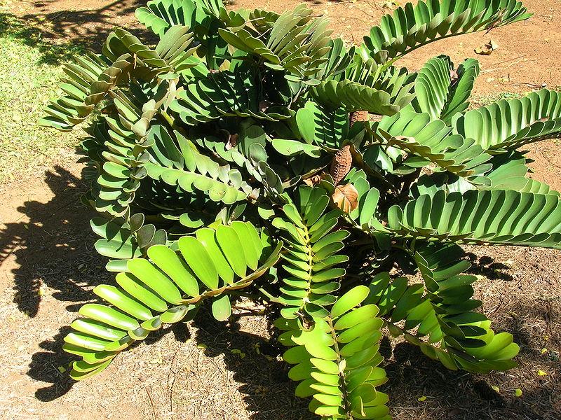 Palmfarn (Zamia pumila)