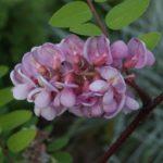 Borstige Robinie 'Macrophylla' (Robinia hispida 'Macrophylla')