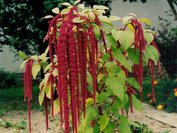 Garten-Fuchsschwanz, Amarant (Amaranthus caudatus)
