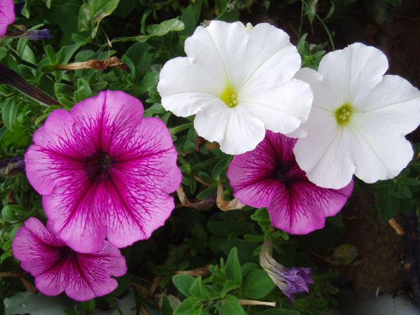 Petunie (Petunia x hybrida)