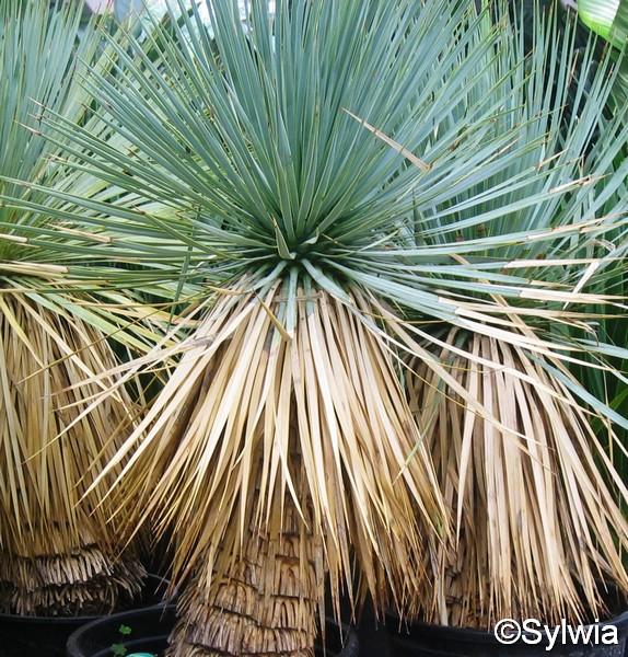 Yucca rostrata (Yucca rostrata)