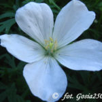 Clarkes Storchschnabel (Geranium Clarkei) 'Kasmir White'