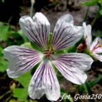 Kaukasus-Storchschnabel (Geranium renardii) 'Teschelda'
