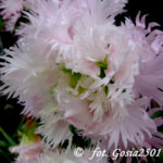 federnelke-dianthus-plumarius