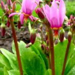 goetterblume-dodecatheon-meadia