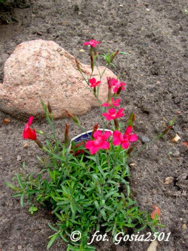 blume mit kleinen lila glocken