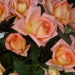 Rose (Rosa) 'Victor Borge'
