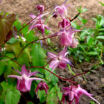 Ziegenkraut (Epimedium grandiflorum) 'Lilafee'